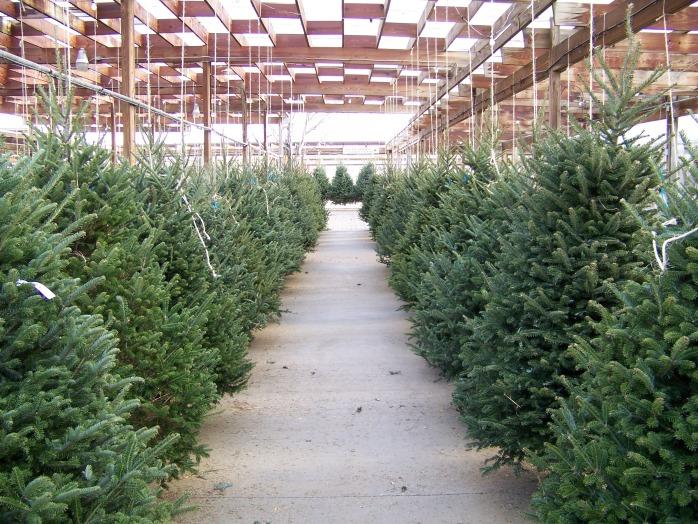 christmas_tree_lot_195344